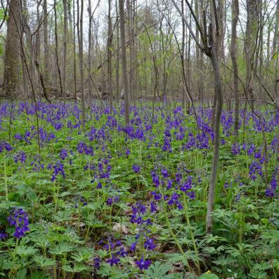 spring-larkspur