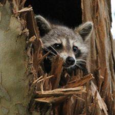 terradise-raccoon