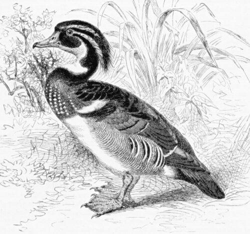 wood-duck-5837843_1920